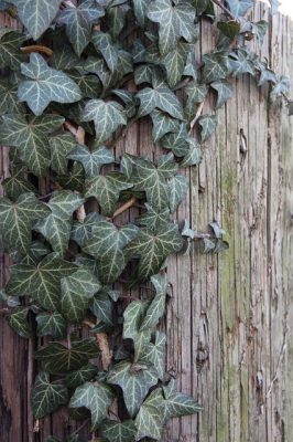 english-ivy poisonous plant for cats