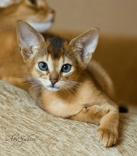 Amazing Cats Breeds  Abyssinian  Kitty Bloger