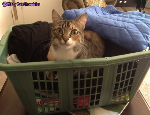 12 Reasons to Adopt a Shelter Cat - Cat in Laundry