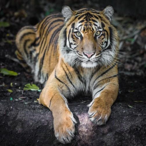 Endangered Species Day - Bengal tiger
