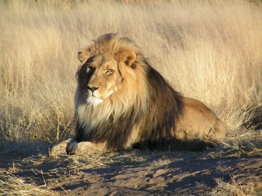 Endangered Species Day - Lion