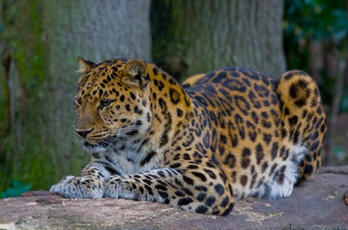 Endangered Species Day - Leopard