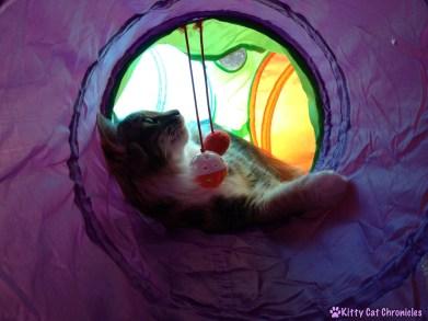 Sophie - Cerebellar Hypoplasia Cat