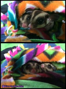Sugar Gliders in Pouch