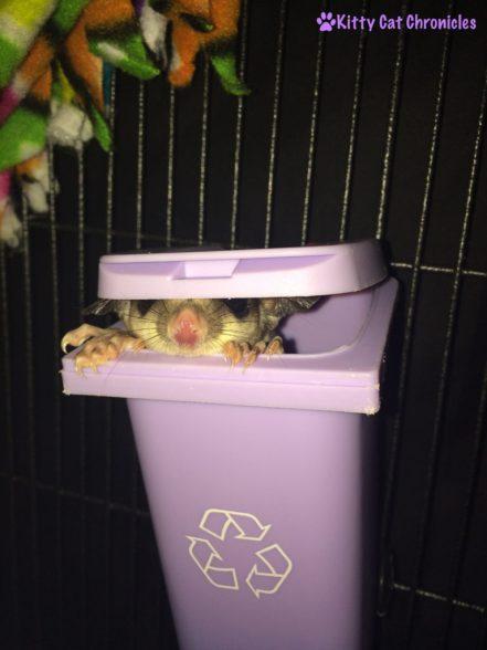 Sugar Glider in Trash Can