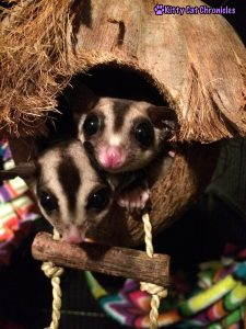 Jubilee & Sydney the Sugar Gliders in their Coconut