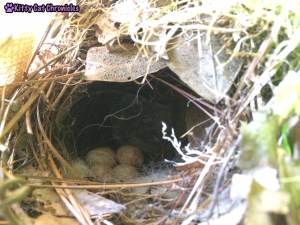We're on Baby Bird Watch: bird's nest with eggs