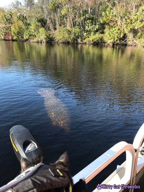 The KCC Adventure Team Tours the St. John's River - manatee