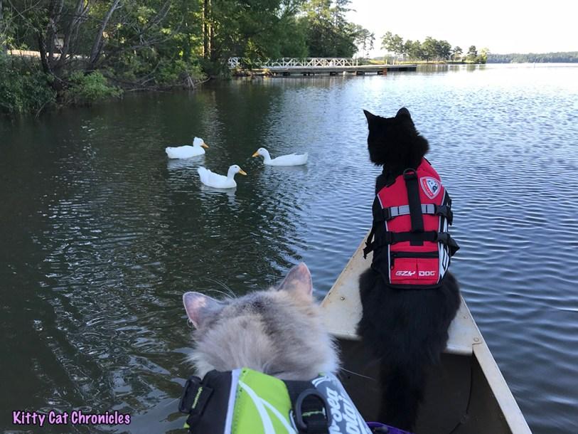 The KCC Adventure Team Canoes Lake Juliette - cat on a canoe