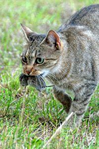 Antisipasi kebiasaan kucing berburu