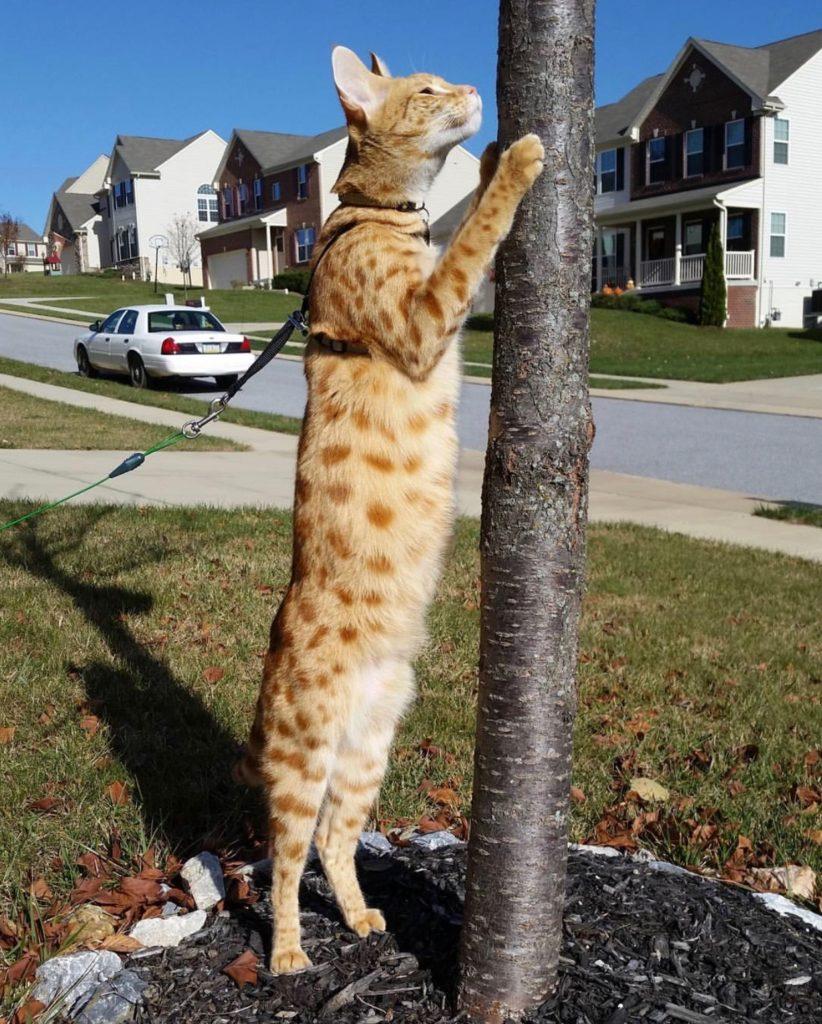 Savannah Cat Size Chart : savannah, chart, Savannah, Cats?, Kitty