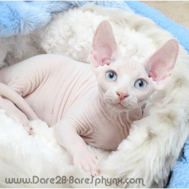 Sale For Sphynx San Diego Cat
