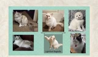 Lightfoot Ragdolls
