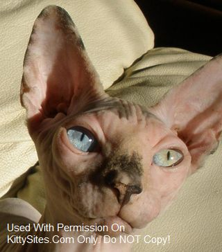 No Hair There Sphynx