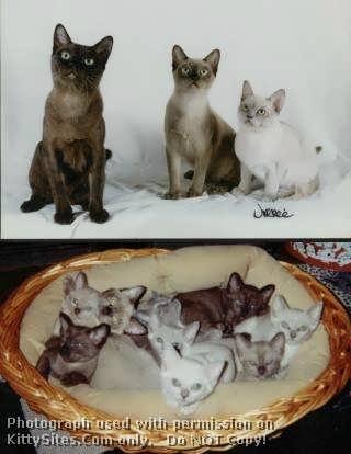 Okeydokey Cattery - Burmese Kittens