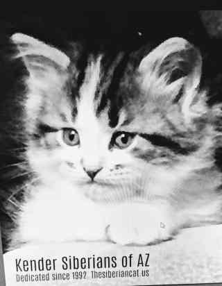 Kender Siberian Cats & Kittens