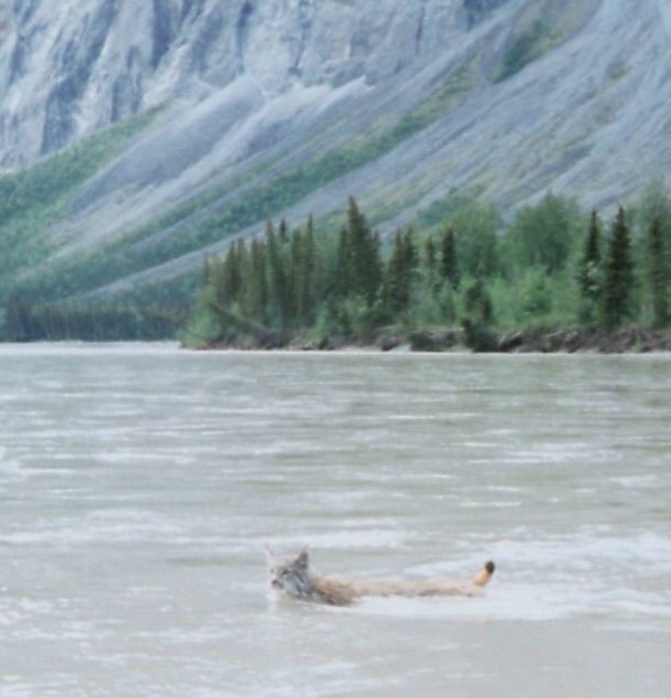 Who_says_cats_don't_swim..._Lynx_swims_the_North_Nahanni_River