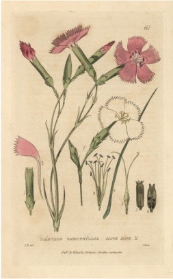 isaac-russell-clove-pink-carnation-dianthus-cariophyllus-from-w-baxter-s-british-phaenogamous-botany-1834 (1)
