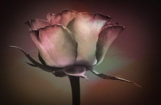 rose-617615_640