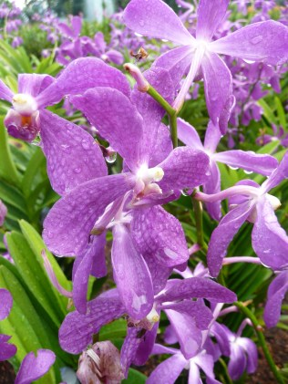 Purple orchids, Orchid Garden, KL