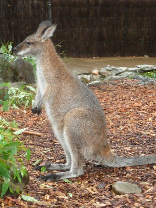Wallabee at the Toranga Zoo