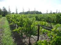 Stroll through the vineyard
