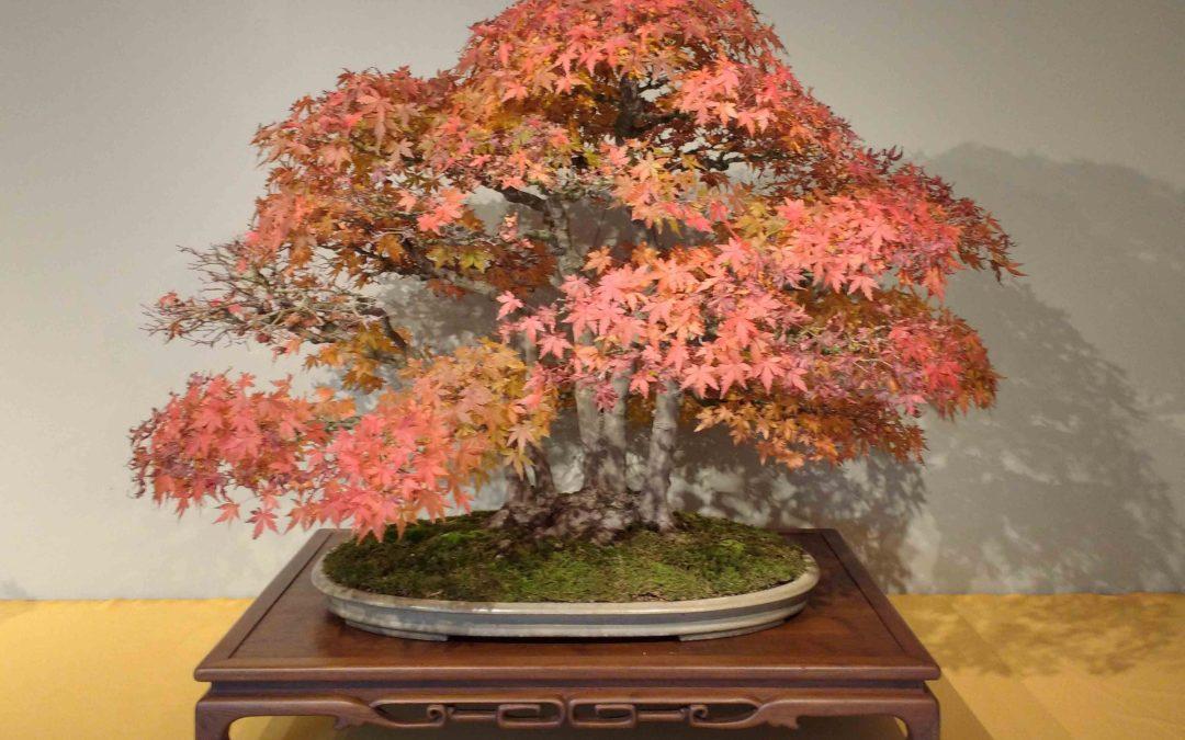 Novembre: Lavori e cure nei bonsai