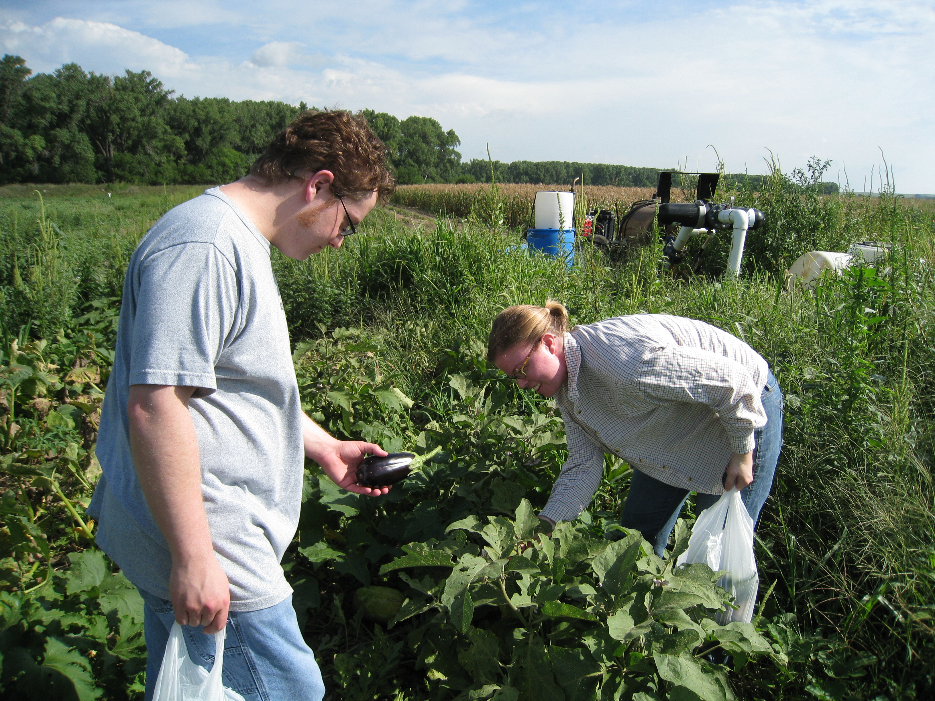 dan and carrie picking eggplant