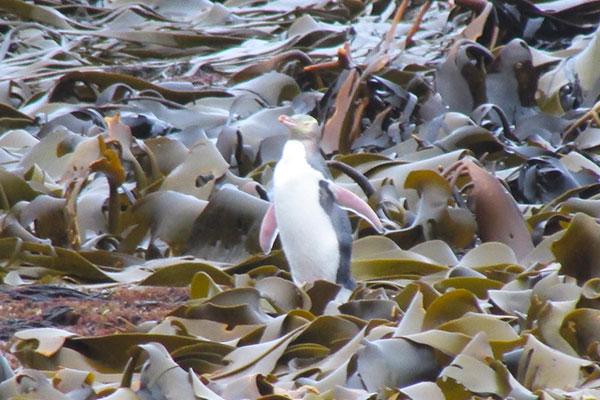 pinguino curio bay