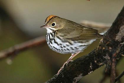 Ovenbird Image