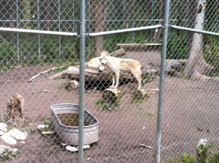 Wolves outside Golden