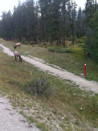 Elk by the side of the road leaving Jasper