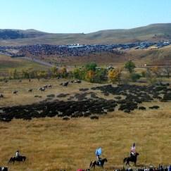 Cowboys rounding up the buffalo