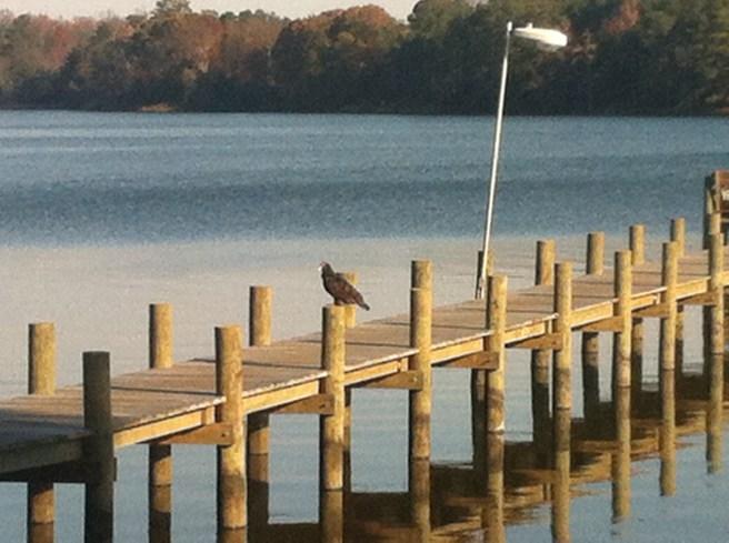 Turkey vulture on the boat dock