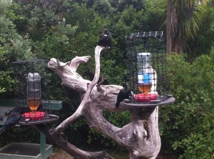 Tui feeding station