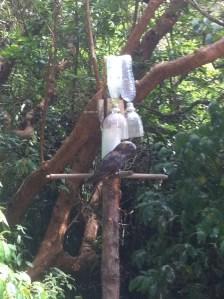 Kaka NZ forest parrot