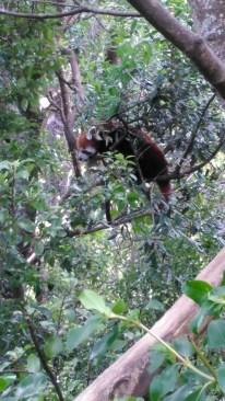 7-jan-red-panda47