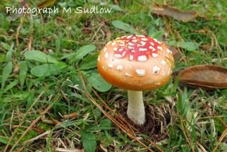 Amanita muscaria small