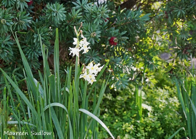 early jonquils
