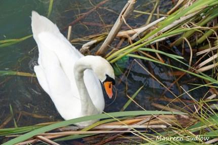 birds-swan