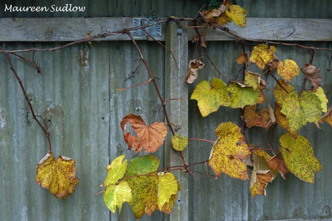 winter grapevine