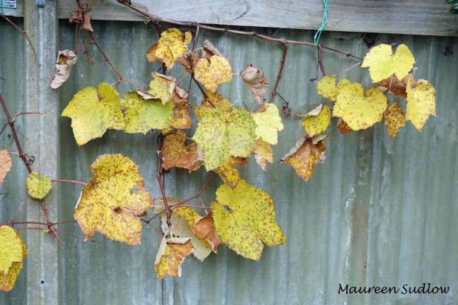 winter grapevine2
