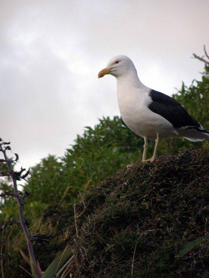 back-back gulls nest here