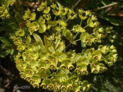 Euphorbia 'Ascot Rainbow' October 2015