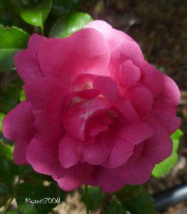 Rosa Miniature Pink