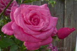 Rose - Large Pink noid