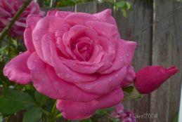 Rose - Large Pink noid