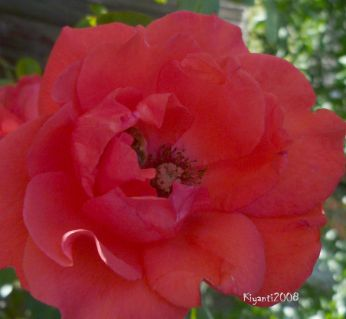 Rose Orange Red November 2015