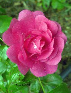 Rose - Pink noid