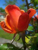 Rose 'Remember Me'